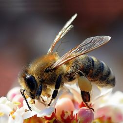 View all Apis Mellifera Foraging Pollination Ecology Pollination Biology Bees Evolution Honeybees Plant-pollinator Interactions Social Insects Bumblebees Stingless Bees Bee Model Systems Varroidae Nosema Bombus Bee viruses Bee Physiology Neonicotinoids Animal Behavior Ecology and Evolution Behavioral Ecology Solitary Bees Colony Collapse Bumblebee Diseases Royal Jelly Insect Pollinators of Crops Learning Entomology Rock climbing